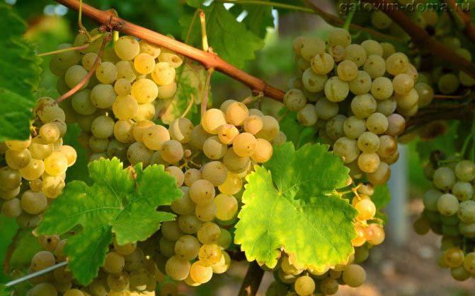 Сорт белого винограда Chardonnay в виде больших гроздей