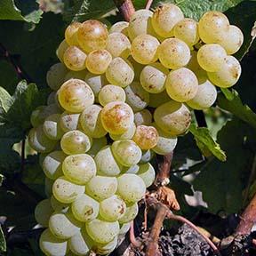 Белый виноград Petit Meslier для создания шампанского