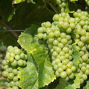 Белый виноград Pinot Blanc для создания игристого вина