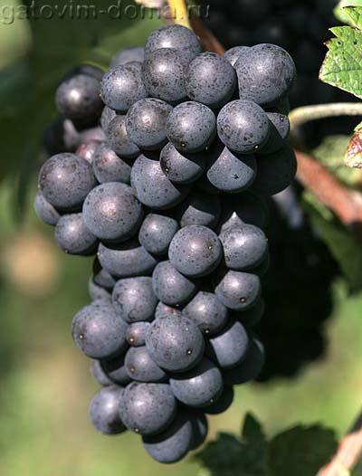 Морозостойкий сорт черного винограда под названием Pinot Meunier