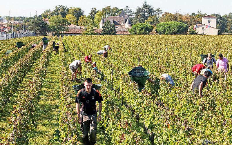 Процесс ручного сбора винограда для создания шампанского во Франции