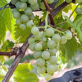 Мелкий белый технический виноград Arbane